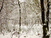 Winter Backwoods Royalty Free Stock Image