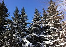 Winter fir trees under snow Stock Images