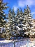 Winter fir trees under snow. Winter park. Fir under snow Royalty Free Stock Photo