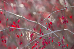 Winter Barberries Royalty Free Stock Photo