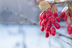 WINTER BARBERRIES. Red barberries with blurred background Royalty Free Stock Photography