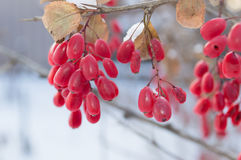 WINTER BARBERRIES. Red barberries with blurred background Stock Image