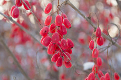 WINTER BARBERRIES. Red barberries with blurred background Royalty Free Stock Image
