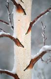 Winter Bark 2. Winter bark royalty free stock image