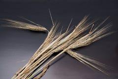 Winter barley ear. Royalty Free Stock Photos