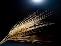 Winter barley ear. Stock Image
