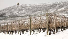 Winter Barolo vineyards panorama. Color image. Winter view of the vineyards, covered by the snow, in the hilly region of Langhe in the southern area of Piemonte stock photography