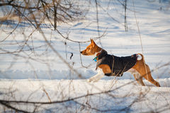 Winter. Basenji dog walking in the park Stock Photos