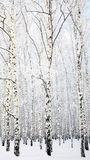 Winter Beautiful Birch Grove Stock Photos