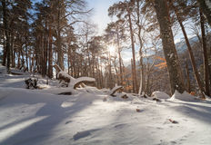 Winter beautiful forest Stock Photography