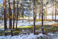 Winter forest pine trees snow natural Stock Images