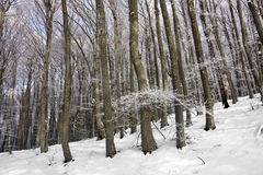 Winter in beech forest Royalty Free Stock Photography