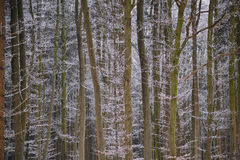 Winter beech forest background Royalty Free Stock Photography