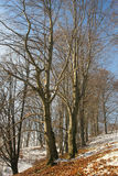 Winter beech forest detail. Winter beech forest detail with small snow layer Royalty Free Stock Photo