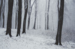 Winter in a beech forest Royalty Free Stock Photo