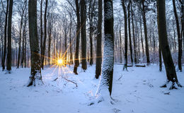 Winter beech forest. At sunset Royalty Free Stock Image