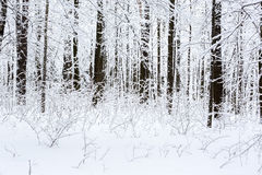 Winter beech forest Stock Image