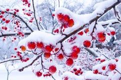 Winter-Beeren stockfotografie