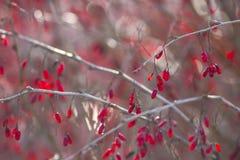 Winter-Berberitzenbeeren Lizenzfreies Stockfoto