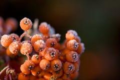 Winter berries Stock Image