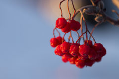 Winter Berries. Frozen winter berries of the Mountain Ash tree in Anchorage, AK royalty free stock image
