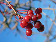 Winter Berries. Closeup of red winter berries against a blue sky stock photos
