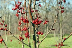 Winter Berries. A group of winter berries. They give a very good contrast with the normally grey winter royalty free stock images