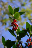 Winter Berries. A bunch of red berries on a branch Stock Photos