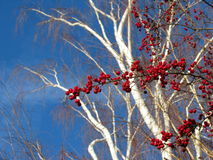 Winter berries against blue sky. Branch of berries set against winter sky and white birch tree for contrasts Stock Image