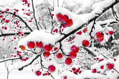 Winter Berries (B-W Background) Royalty Free Stock Photos