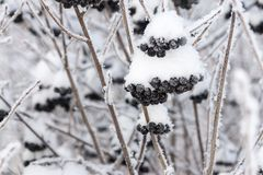 Winter berries of a black mountain ash with the snow Royalty Free Stock Photo
