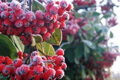 Winter berries on a cold, frosty morning. Wintry morning bright red berries frosted in the night`s cold Royalty Free Stock Photos