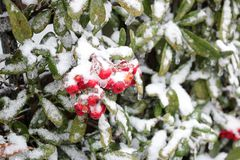 Winter Berries Covered in Snow Stock Images