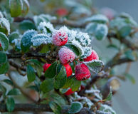 Winter Berries and Frost Royalty Free Stock Photo