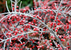 Winter berries, Germany Royalty Free Stock Photography