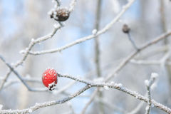 Winter berries hanging from frosted branches Stock Images
