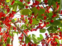 Winter berries horizontal Stock Images