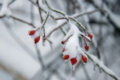 Winter Berries on an Icy Cold Day. Snow covered winter branches with red berries encased in ice on a cold snowy day in winter stock photos