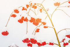 Winter berries. Rowan berry mountain ash, Sorbus aucuparia in winter with snow Stock Photo
