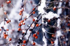 Winter berries in snow Royalty Free Stock Image