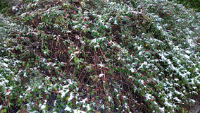 Winter berries with snow, horizontal HD seamless texture Royalty Free Stock Photography