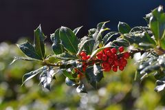 Winter berries. In the sunshine after rain Royalty Free Stock Photos