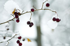 Winter berries on a tree in a forest in winter. In the photo the tree branch with red dried I years. Winter snow Park. Tender fresh landscape Royalty Free Stock Image