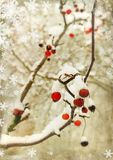 Winter berry Stock Image