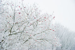 Winter berry. Berries on a tree in the park Stock Image