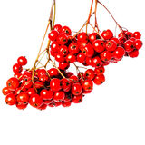 Winter berry branch with red holly berries hanging isolated on w royalty free stock photos