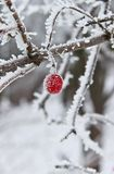 Winter Berry Frozen and Covered With Snow royalty free stock photo