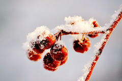 Winter berry. Snow-covered berry hang on a branch in a winter garden Stock Photo