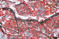 Winter berry and snow in northeast snow storm 2014 Royalty Free Stock Photo