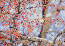 Winter berry and snow in northeast snow storm 2014 Royalty Free Stock Photos